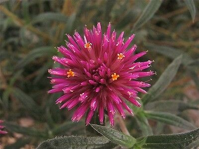 Globe Amaranth Pink Billy Buttons Native Annual Warm Climate Adaptable to Soils