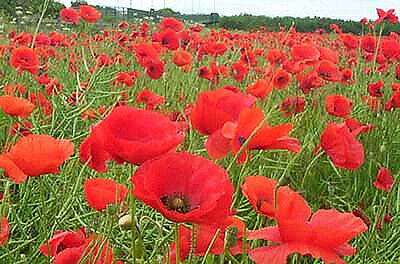 Flanders Poppy Red Corn Poppy Seed Annual Mass Planting Reseeds Easy to Grow
