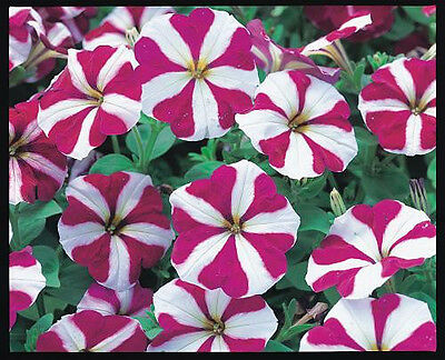 Petunia Celebrity Burgundy Star Seed Come-Again Annual Easy to Grow