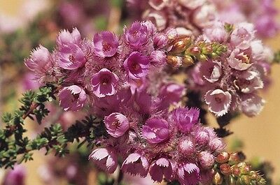 Feather Flower Seeds Drought & Frost Tolerant Small Shrub Verticordia pennigera