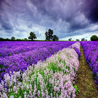 400Pcs Lavender English Seeds Organic, Untreated Herb Seeds Garden Deocr