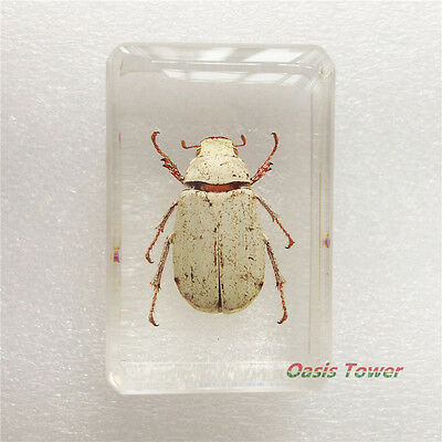 Paperweight Insect Specimen White Scarab Beetle In Clear Lucite