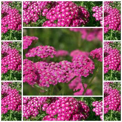 "Yarrow ""Cerise Queen"" 100 seeds flower or herb garden easy to grow perennial"