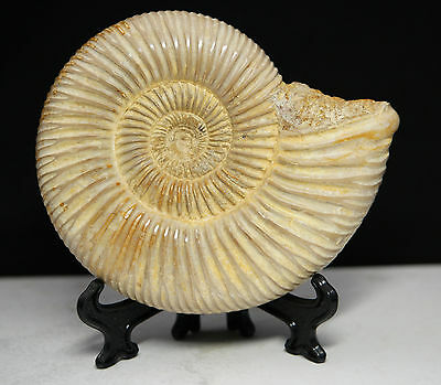 "Natural Ammonite Perisphinctes Dinosaur Fossil Madagascar, 100mm 4"", With Stand"