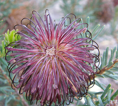 Violet Banksia Seed Drought & Frost Hardy Low Evergreen Shrub Sandy Soils