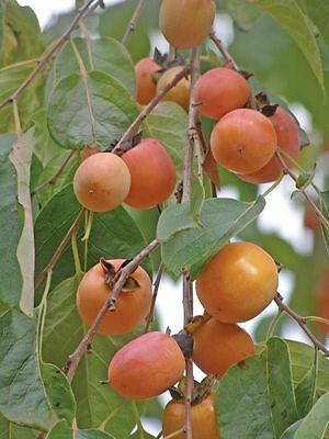 American Persiimmon Seeds Deciduous Shrub/Tree Frost Hardy Sweet Edible Fruit