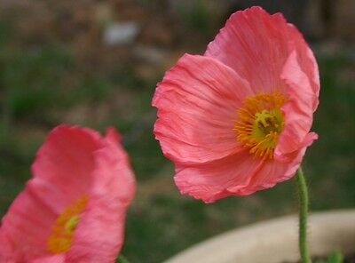 Poppy Wonderland Pink Seed Annual Mass Planting Reseeds Easy to Grow