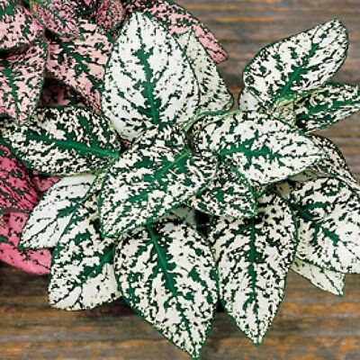 Hypoestes Confetti White Easily Grown Foliage House/Shade Plant Colorful