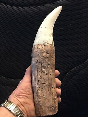 "The BIGGEST T Rex Tooth ever! 12 ""+ Fully restored root great serrations HUGE!!"