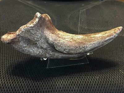 NEW ITEM! T-Rex fine quality fossil claw REPLICA 9 inches Jurassic with a stand