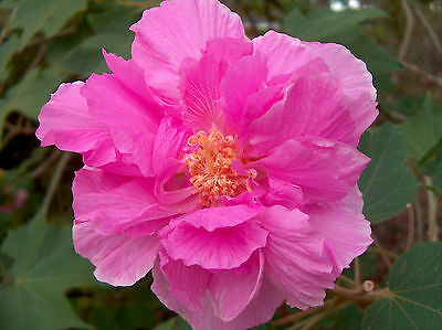 Hibiscus mutabilis double flower - 20 seeds, color changing flowers