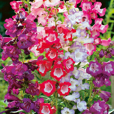 Penstemon Sensation Mix Seed Compact Perennial Showy Long Flowering Blooms
