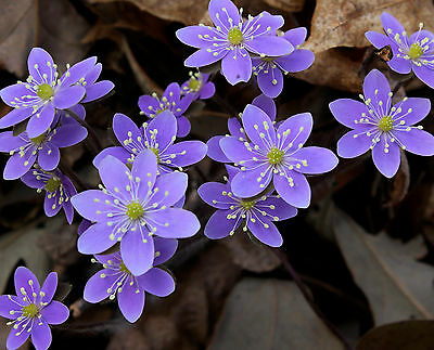 SHARP-LOBED HEPATICA acutiloba * WOODLAND/SHADE GARDEN FLOWER * NA NATIVE SEEDS