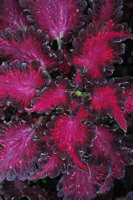 Coleus Black Dragon Seed Compact Annual Shade Loving or Indoors Plant