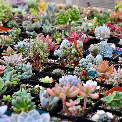 100 Seeds/pack Mixed Succulents Seeds Rare Succulent Potted Plant Home Decor hs