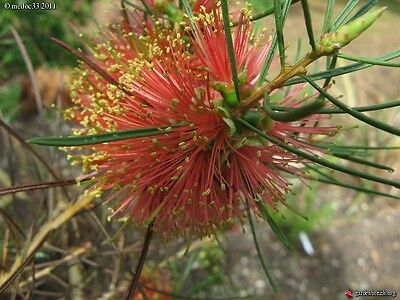 Orange Flowering Bottlebrush Seed Drought/Frost Hardy Endangered Medium Shrub