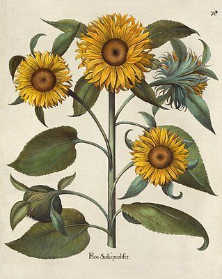 Reproduction Print on A4 - Antique Floral Illustrations - Sunflower