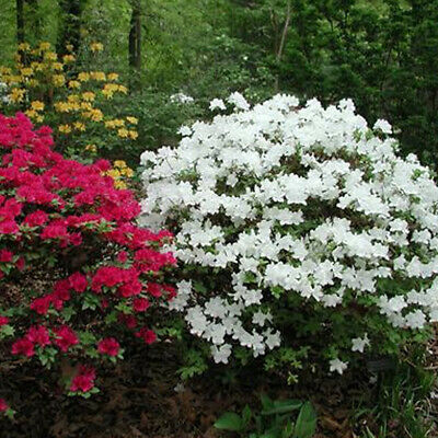 1 X White Azalea Japanese Evergreen Shrub Hardy Garden Plant In Pot