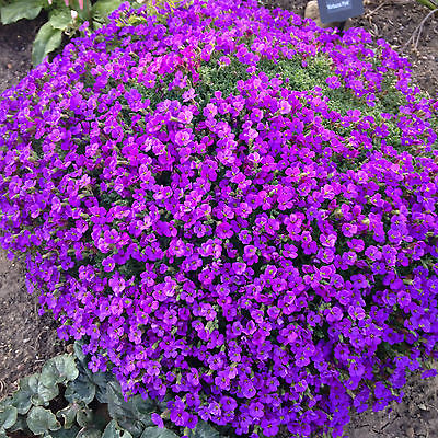 Purple Rock Cress Perennial Groundcover Plant 3 FOR £6.50 9cm pot