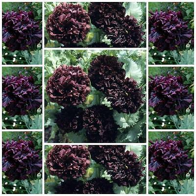 "Poppy Double Black 100 flower seeds unusal Papaver paeoniflorum ""Peony Poppy"""