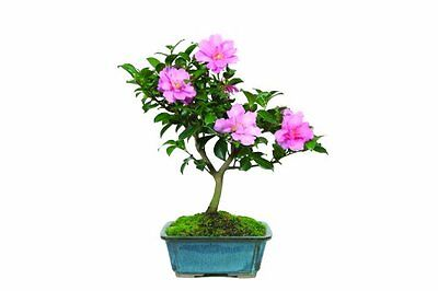 "Brussel's Camellia ""Hot Flash"" Bonsai, New, Free Shipping"