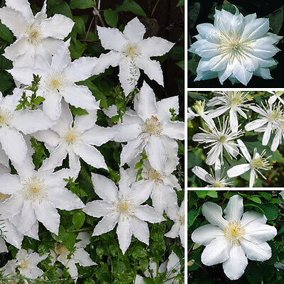 1 X Clematis White Coloured Large Flowering Climber Hardy Plant In Pot