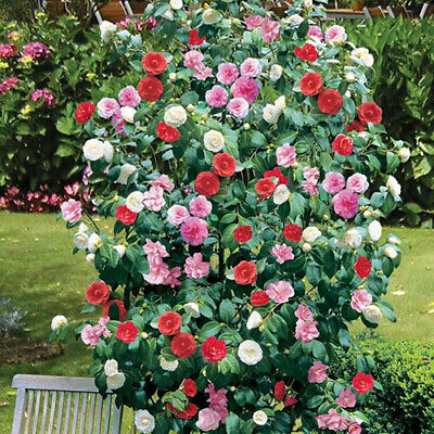 Camellia Tricolour 3 Plants 3 Colours Mixed Display Garden Flower Plant In Pot