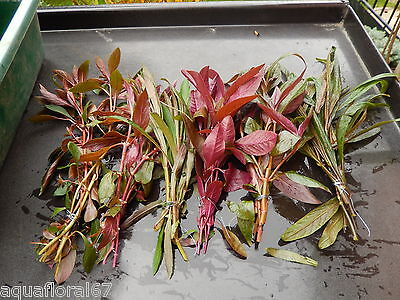 6 touffes de  plantes rouge  pour aquarium filtre lot nano bac made in france