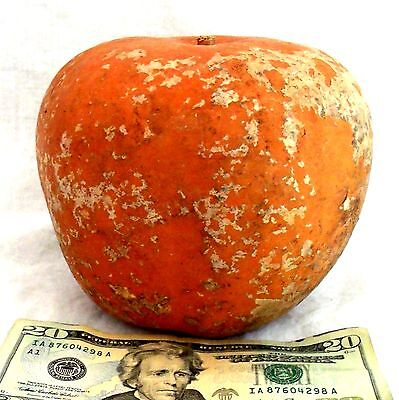 """Apple Gourd Dried Clean Craft Paint Ready APPLE GOURDS Birdhouses Large 6"""" Gourd"""