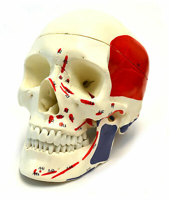 "Muscle Painted Human Skull Model, Life Sized (9"" Height) - 3 Parts"