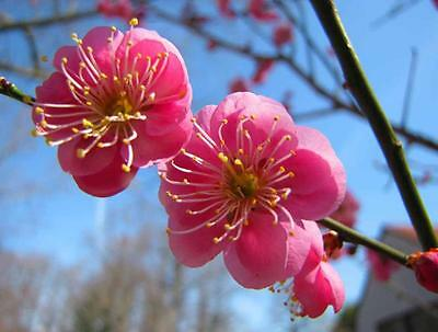 Japanese Apricot, (Chinese Plum), Prunus mume, Tree Seeds (Fast, Showy, Edible)