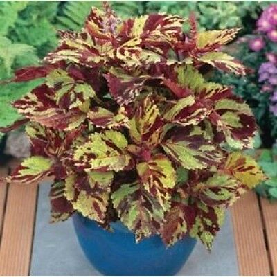 Coleus Fairways Mosaic Seed Dwarf Shade Loving Colourful Indoor/Outdoor Hybrid