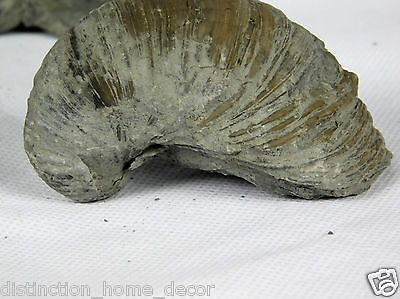Gryphaea - Devils Toenail - Fossil Oyster Shell Bivalve Sea - Gloucestershire UK