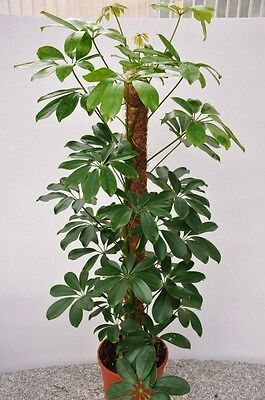 Dwarf Umbrella Tree Seeds Tropical Indoor/Outdoor Plant Schefflera arboricola