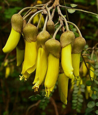 Yellow Kowhai Seed Evergreen 10m Tree Frost Hardy Evergreen Sophora tetraptera