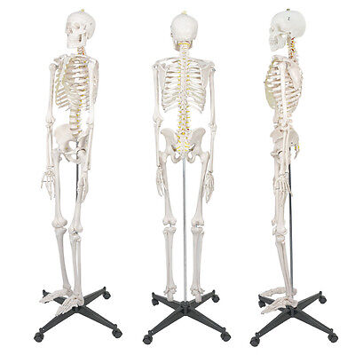 70.8'' / 180cm Human Anatomical Anatomy Skeleton Medical Teaching Model + Stand