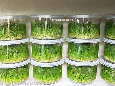 Eleocharis Parvula in Vitro Dwarf Hairgrass Live Aquarium Plants Planted Tanks