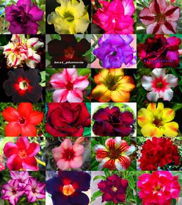 """Adenium Obesum """"identified by color"""" 100 Seeds 24 Type"""