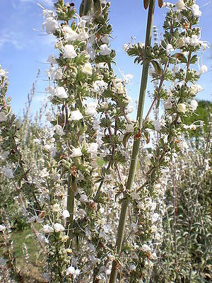 75 Sacred WHITE SAGE Salvia Apiana Shrub Silver Folliage Native Smudge Seeds