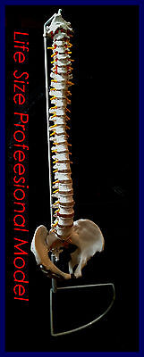 NEW Professional Life Size Human Spine Model, Flexible, Medical, Anatomical UK