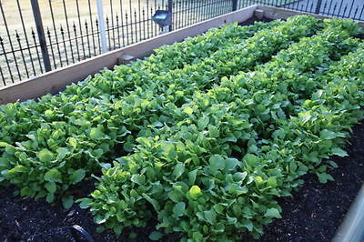 1500 SEVEN TOP TURNIP For Leaf Greens & Sprouts Brassica Rapa Vegetable Seeds