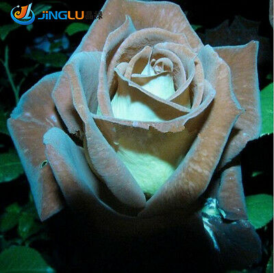 100 Pcs Chocolate Rose,Chocolate Mint Rose Seeds, Bonsai Flower Plant Seeds