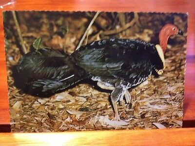 Postcard - Brush Turkey, Lamington National Park Wild - Sydney G. Hughes GM13