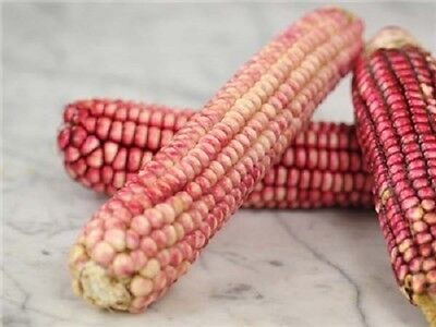 15 PINK GLASS GEM CORN Ornamental & Edible Zea Mays Vegetable Seeds * Comb S/H