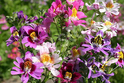 Schizanthus Angel Wings Orchid-like Mass Flowers Mixed Seeds Colour Adaptable