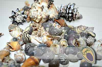 Natural Sea  Shells 2-12cm large, medium and small multiple pack sizes (Bag 3)