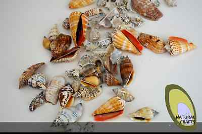 Natural Sea Shells 2-8cm medium and small multiple pack sizes (Bag 1)