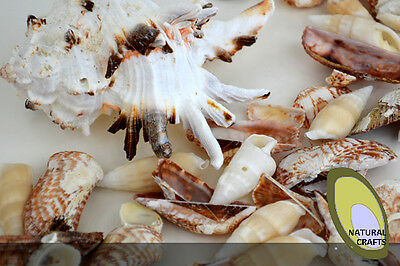 Natural Sea Shells 5-12cm large and medium multiple pack sizes (Bag 2)