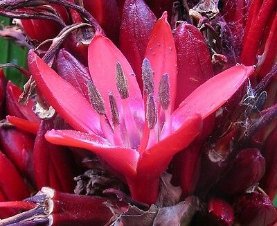 GYMEA LILY, GIANT LILY Seeds Good on Poor Rocky Soils Evergreen Drought Tolerant