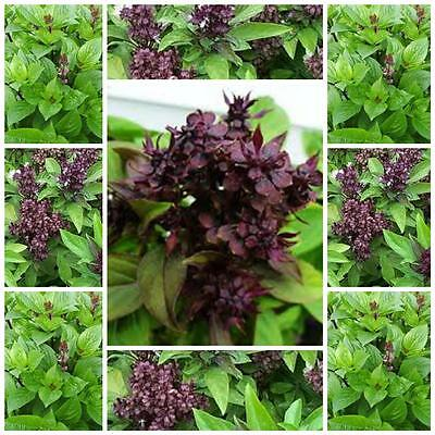 "Basil Thai ""siam Queen"" 150 seeds Horapha, Hung que"